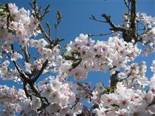 桜咲く!いい感じ!