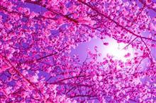 桜を見に行きました!