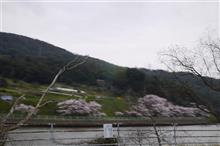 終わりかけながら桜見物