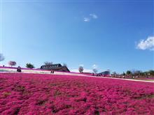 地元の芝桜(太田北部運動公園)(*´∀`)
