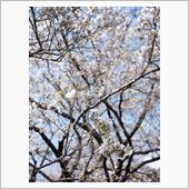 桜尽くしの小金井公園 〜衣通 ...