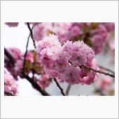 桜を見に行ってきました。