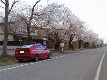 アルファ155でいく山形の桜