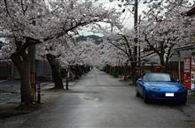 たぶんこの春最後の桜ドライブ