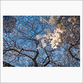 成子の常圓寺に今年も桜が咲い ...