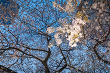 成子の常圓寺に今年も桜が咲いた🌸