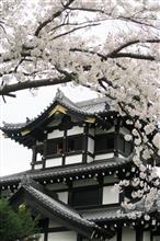 日本三大夜桜・・・昼間やけど・・・(´;ω;`)ウッ…