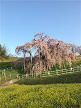 今朝の滝桜
