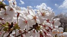 昨日に続き今日も桜を求めて!