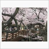 高遠桜の花見ツーリング(カワ ...