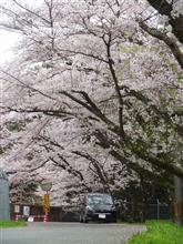 ファミリーカーと桜!