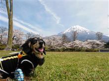 2017年の桜と富士山とゆずさん…そして   (ほぼ わんカラ)