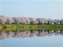 おおがわら桜まつり~しばた桜まつり ~白石城桜まつりへ!