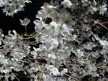 2017年  桜♪