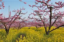 甲府盆地 桃と桜の花ドライブ