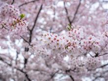 4月8日 やっと雨が上がったから小金井公園に桜を観に行こう☆