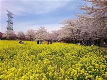 赤城南面千本桜~レモン牛乳ソフト