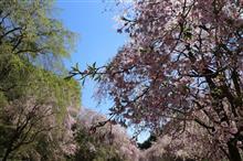 今年最後の桜・・・な話