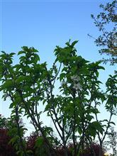 ブラックチェリー花咲く