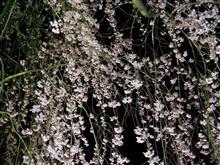 角館の桜2