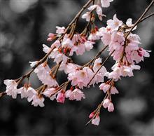 サクラ 桜 さくら