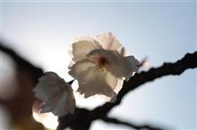 今シーズンラストの桜