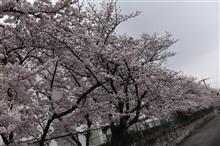 2017年春 サクラ?(;´д`)