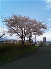 今日も桜満開!
