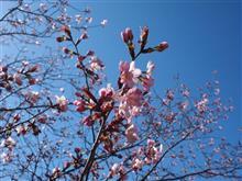桜をもとめて