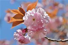 通り抜けの桜(長瀞)