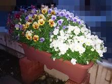花壇の衣替え準備