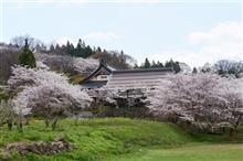 【信州 中野 谷厳寺(こくごんじ)の桜】