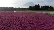 本日の富士芝桜まつり会場は・・・