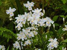 シャガの花が群生/足助町