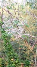 水蠟の木 イボタノキ