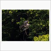 森林の王者【クマタカ】vol ...