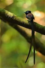 森にひらめく、夏鳥のサンコウチョウ