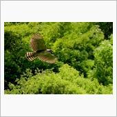 飛翔【森林の王者】