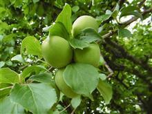 今年も梅ジュース作りの季節がやってきた。