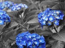 とりあえず庭の紫陽花ですが・・・(^_^;)