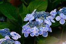 長谷寺の紫陽花見てきました~