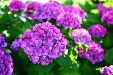 紫陽花と花菖蒲