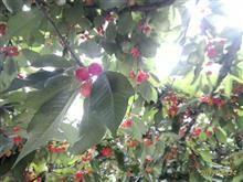 梅雨の合間 ブルーベリー  と さくらんぼ食べ放題 南信州松川へ