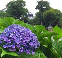 ◆あじさい の季節ですね@岡崎城
