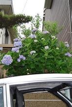 紫陽花の季節に 一眼レフカメラ撮影写真を初アップ