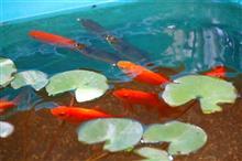 金魚のちカブトムシ