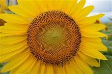 向日葵と風景を求めて