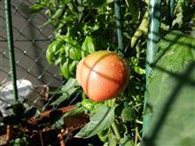 バジルに守られたトマトと3本の枝豆 #9&チビタンカマキリ