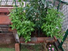 バジルに守られたトマトと3本の枝豆 #10&チビタンカマキリ
