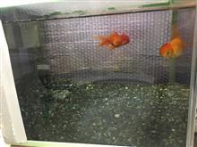 金魚その後